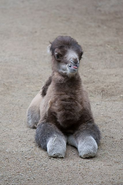 Baby Male Bactrian Camel