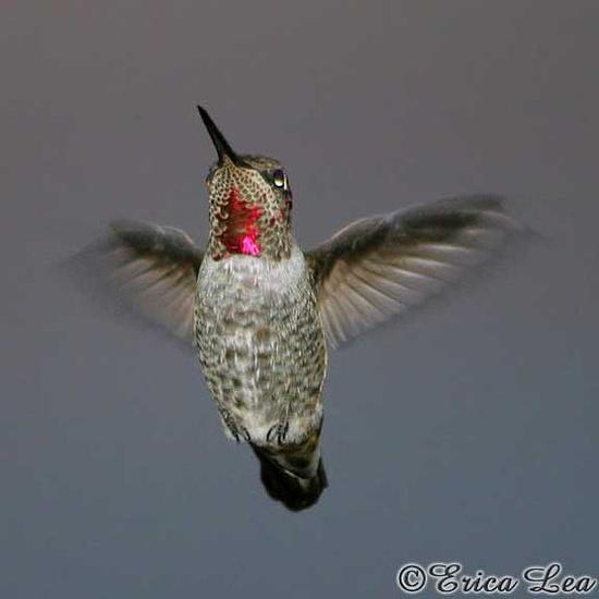 Love hummingbirds