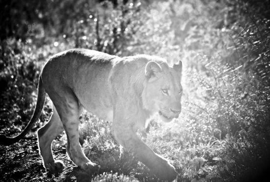 "Animals in Africa: ""Lion on safari"""