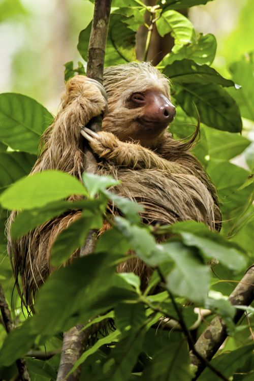 Two-toed sloth hanging onto a tree