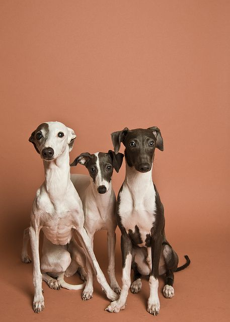 Italian greyhounds.... not whippets like everyone assumes Bellbell is...