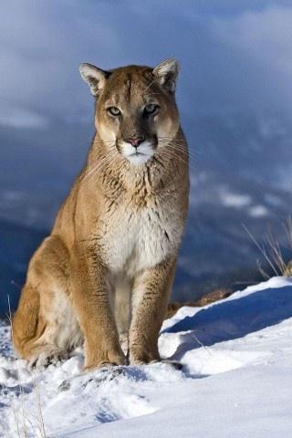 ? Masculine animals puma, feline, winter, landscapes, cougars