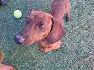 Bruno is an adoptable Dachshund Dog in San Diego, CA. Bruno is a very sweet young male that was brought to our attention by the Chula Vista Animal Care Facility. He was brought in as a wounded stray. ...