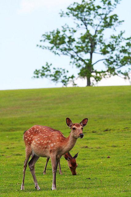 Sika deer-04