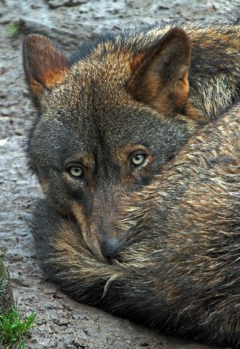 Iberian wolf   Gaiapark