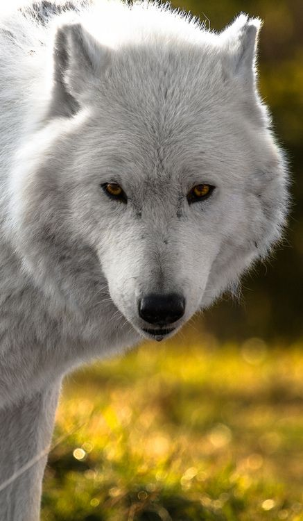 ?Arctic Wolf (by The Volpe)