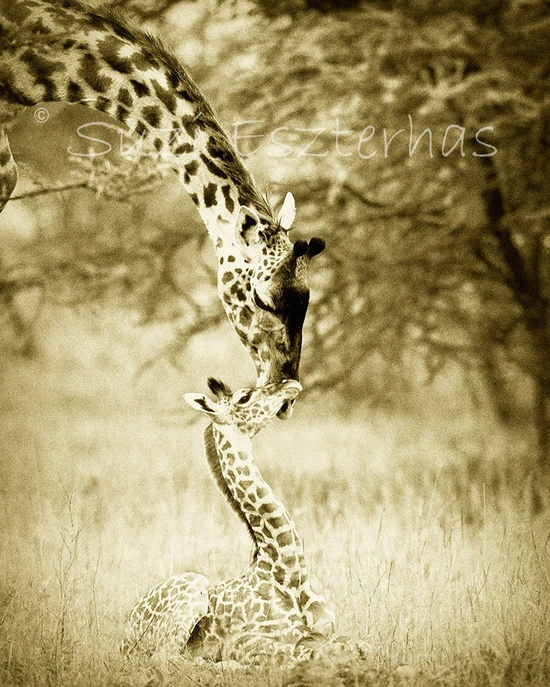 Vintage SAFARI BABY ANIMALS - Set of Four Sepia Photos - 8 X 10 - Elephant, Lion, Cheetah, Giraffe - Wildlife Photography, Nursery Wall Art. $40.00, via Etsy.
