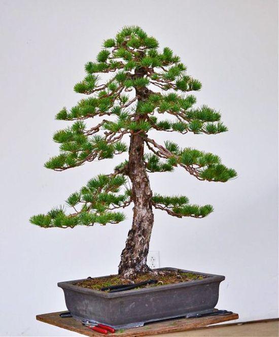 White Pine Bonsai