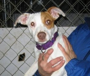 #NEWYORK ~ Venus is an #adoptable Jack Russell Terrier Dog in #Rhinebeck. . Venus is an acitve young Jack Russell Terrier who loves to play with her doggy friends. Venus would do best in a terrier savvy home. For more information please visit our website at www.russellrefuge...