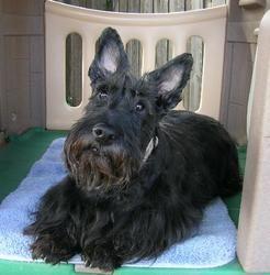 Maggie: Scottish Terrier Scottie, Dog; Dallas, TX