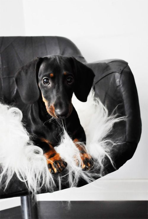 How cute is this dachshund!