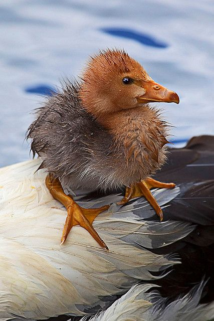 Hitchhiker - a gosling rides the mother's back