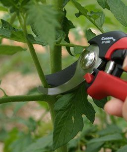 Pruning tomato plants for better fruit.