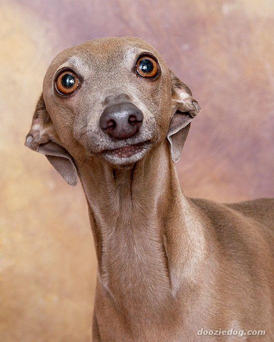 Italian greyhound--beautiful face.