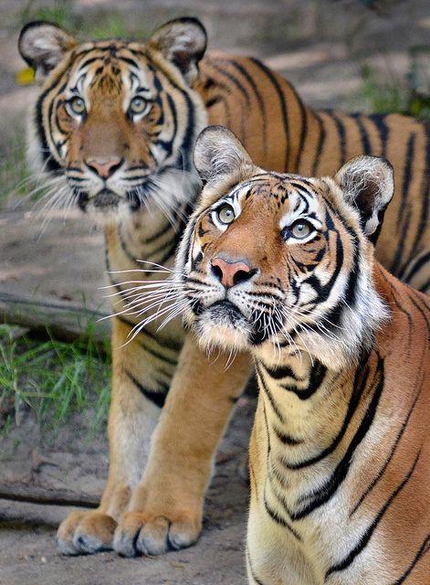 i LOVE tigers!!!