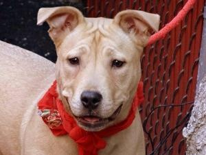 CHEESE is an adoptable Golden Retriever Dog in New York, NY. A volunteer writes: Cheese... what a silly name for a dog or anyone... I like it though as I am a cheese lover..And after spending some tim...