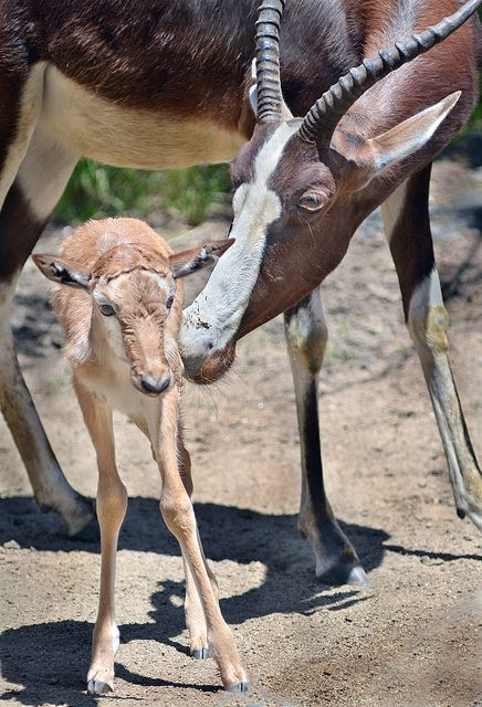 Have you seen our 2 bontebok babies yet? Photo by Ion Moe #animals