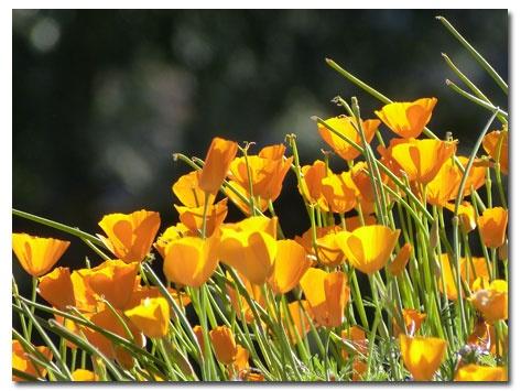 Desert Wildflower, Southern California #flowers #nrdcbiogems