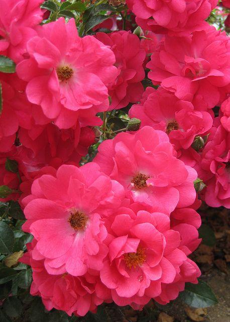 Flower Carpet Pink Supreme