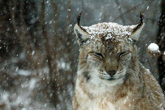 Lynx in the snow.