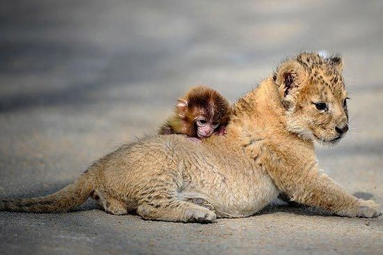 Baby monkey and lion