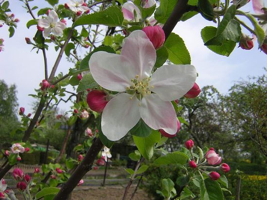 Public domain image - free picture of apple tree in blossom