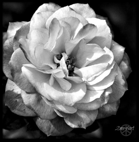 form, not color, Rose