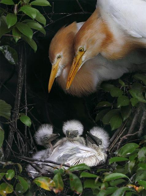 Cattle egret family