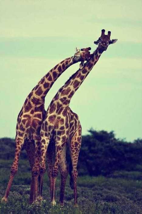 . . giraffes . .