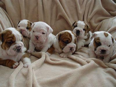 baby bulldogs!!!