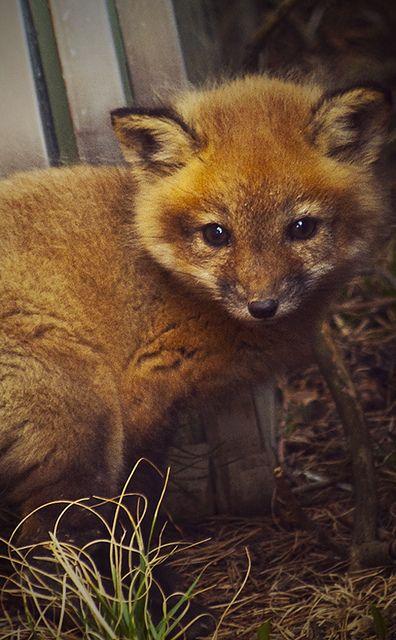 **Baby Fox.