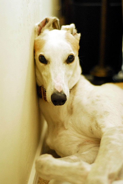 Retired greyhound Duncan