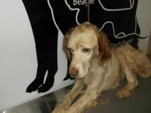 UPDATE 09/13/13 SLIM WAS PULLED BY A RESCUE GROUP YAY Slim is an adoptable Setter Dog in Lewisburg, TN. By TN state law stray dogs are held for 3 days so they can be found by their ownersbefore being put up for adoption. Rescues are allowed to pull dogs...