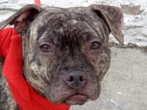 SHEBA is an adoptable Pit Bull Terrier Dog in New York, NY. A volunteer writes: Sheba reminds me of a little statue carved in a rare African wood. She is so small in her big almond kennel, laying peac...