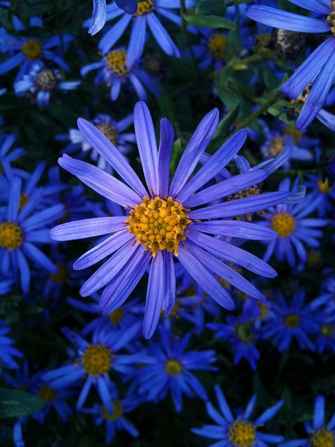 Pretty Blue Flowers