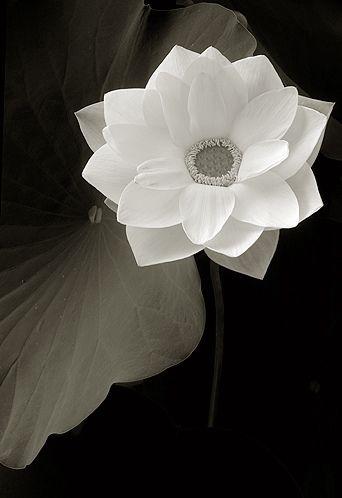 White Lotus Flower in BW