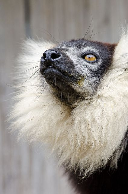 Cute Pet Lemur With Nice Ruffle Collar