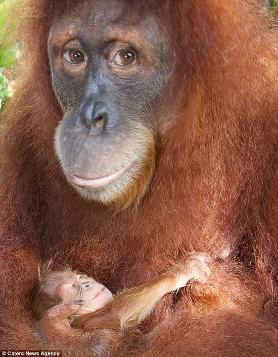 Animal Discoveries: Adoring look of the mother orang-utan cradling her newborn baby