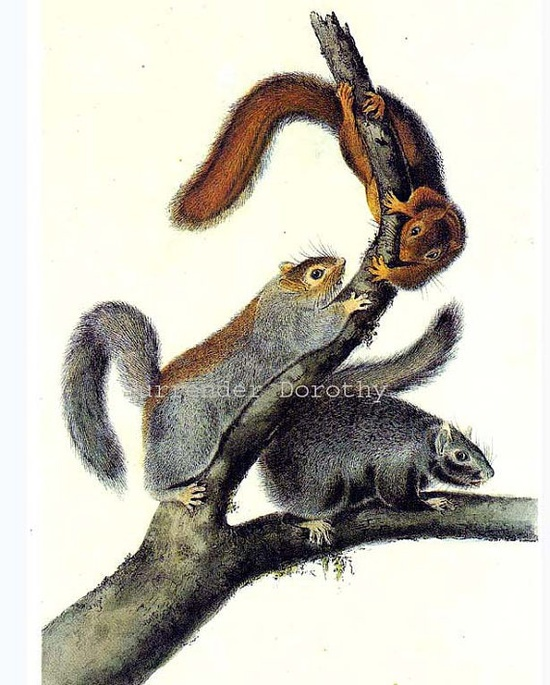 Cat Squirrels John J Audubon Rodent Print Natural History Wild Animal Color Lithograph