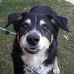 #OHIO #URGENT ~ Ollie - Kennel 29 is an #adoptable Shepherd Dog in #ValleyView, #OHIO.  A super sweet Husky mix - seems to have had a rough time as he is very underweight. Despite everything he has a great outlook on life. Belly rubs is a favorite of his & he's an excellent leash walker. Come meet & you might just #adopt Ollie in kennel 29. CUYAHOGA COUNTY ANIMAL SHELTER  9500 Sweet Valley Drive  Valley View, OH 44125  Ph 216-525-4827