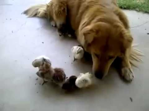 ? Dog adopts 10 baby chicks! - funny video - YouTube