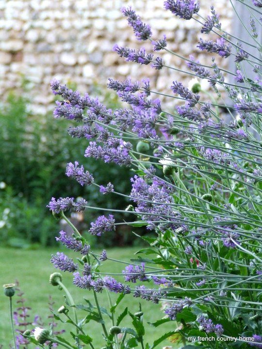 Lavender  (Photo from My French Country Home)