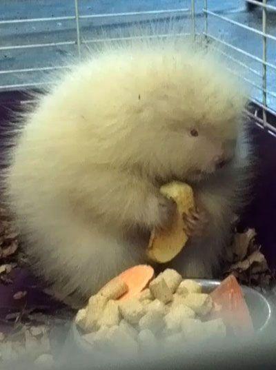baby albino porcupine