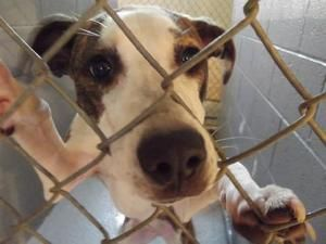 Bella - CRITICAL! is an adoptable Pit Bull Terrier Dog in Nashville, NC. ~ URGENT ~ This pet is at what is considered a high killShelter. The Shelter is estremely small and the pets have very little...