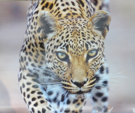 Leopard #wild #animals