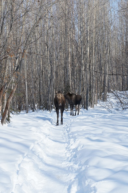 The Horrors of a Moose Encounter!  (More Photos Inside!) by Douglas Brown, via Flickr