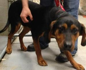 URGENT- JUNIOR IN GASSING SHELTER is an adoptable Shepherd Dog in Downingtown, PA. THIS SWEET DOG IS IN A RURAL GASSING SHELTER AND IS IN NEED OF A REPUTABLE RESCUE OR SUITABLE ADOPTER TO SAVE HIM. PL...