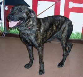 DeMona is an adoptable Mastiff Dog in Kenton, OH. This is DeMona. She was taken along with Buddy because her shelter was submerged in water. She did have a litter of pups not long ago and is still bou...