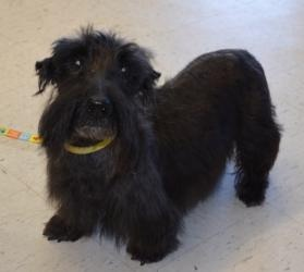 #OKLAHOMA ~ Duncan is an #adoptable #senior Scottish Terrier Scottie Dog in #Bixby. a beautiful, sweet Scottie senior who came to us when his owner could no longer take care of him.  He has some serious medical issues that are totally controlled with medication.  He's looking for a loving forever home where he can be spoiled rotten for the rest of his life.  If that sounds like a job you'd like to take on, please apply for Dunc today! Oklahoma Westie Rescue mailto:adoption@o...