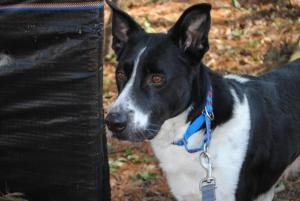 Sammy is an adoptable Border Collie Dog in Sudbury, MA. Meet Sammy, a 5-year-old male Australian Cattle Dog Great Dane mix. This sweet dog was brought in by local Animal Control, after he was found ab...
